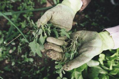 Odchwaszczacz, czyli jak pozbyć się chwastów z trawnika bez chemii